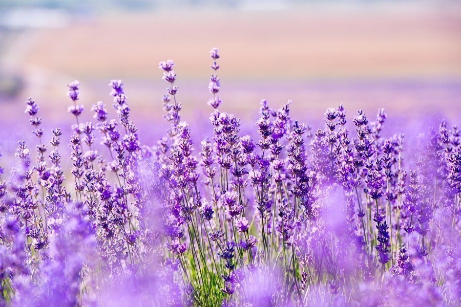Essential Oils With Betsy - Lavender field